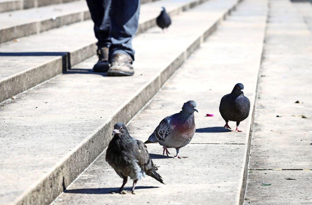 Die Tauben an den Böblinger Seen  haben kaum mehr Scheu vor den Menschen – sie seien zu entkräftet, um wegzufliegen, sagen die Tierschützer. Foto: factum/Simon Granville