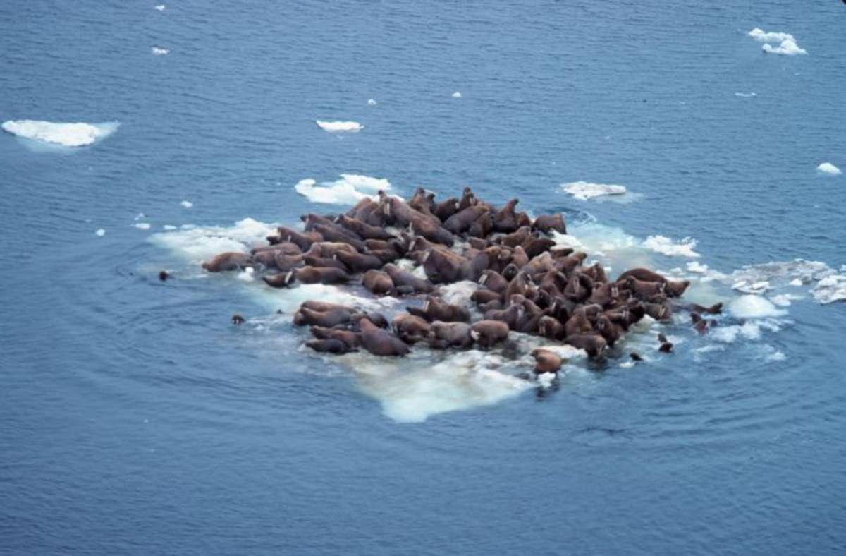 Walrösser auf einer schmelzenden Eisscholle in der Beringsee. Foto: Wikipedia commons/NOOA