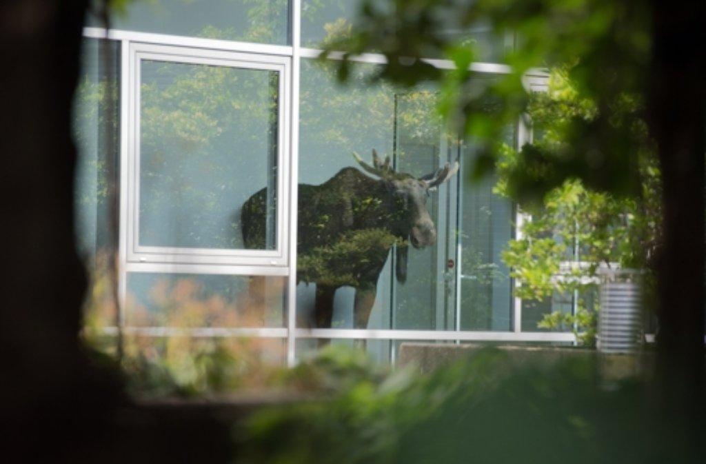 Der junge Elchbulle hatte sich am Montag in Dresden in ein Bürogebäude verirrt. Foto: dpa