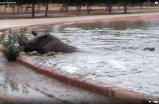 Nilpferd schiebt strampelndes Nashorn aus Wasserbecken