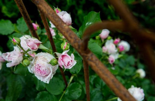 """Kletterrose gewinnt erstmals Titel der """"Goldenen Rose"""""""