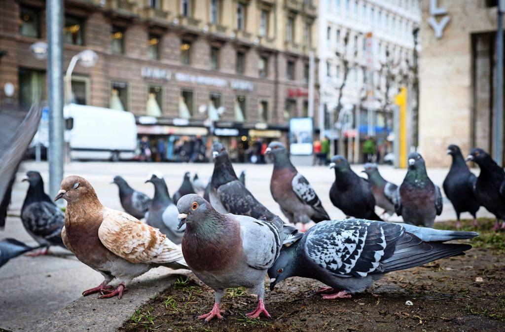 Auch im Stuttgarter Zentrum sind viele Tauben zuhause. Foto: Lichtgut/Achim Zweygarth