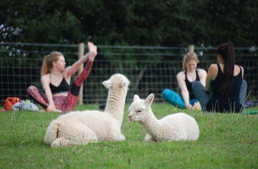 Ehepaar bietet Yoga mit Alpakas an