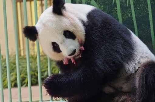 Huan Huan ist Mutter von zwei rosa Pandabärchen