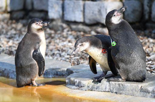 Untersuchung des Pinguins soll Hinweise liefern