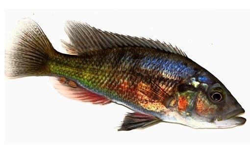 Buntbarsche kauen ihren Fisch zu lang
