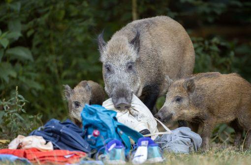 Wildschweine auf Autobahn unterwegs  – mehrere Tiere verendet