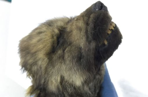 Hund oder Wolf? Mysteriöses  Tier in Sibirien entdeckt
