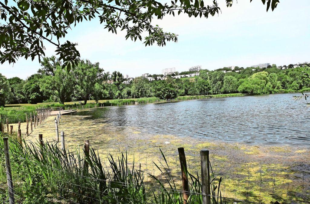 Neue Wasserpflanzen am Max-Eyth-See verdrängen Algen und sorgen für mehr Sauerstoff im See. Foto: Iris Frey
