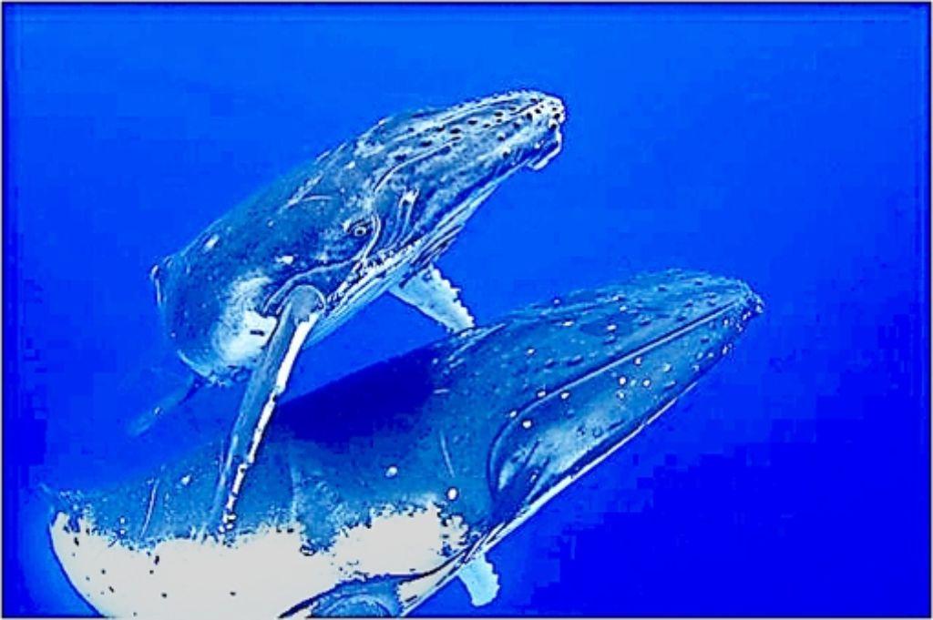 Viele Wale sind vom Aussterben bedroht, weil sie zu sehr gejagt werden. Foto: Archiv