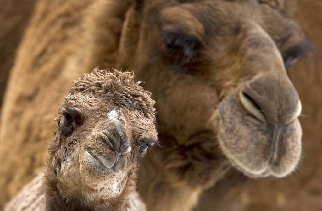 Norbert Nieser  hat Kamele auch schon in der Wüste fotografiert. Foto: dpa