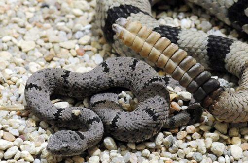 Mann in Texas findet 45 Klapperschlangen unter seinem Haus