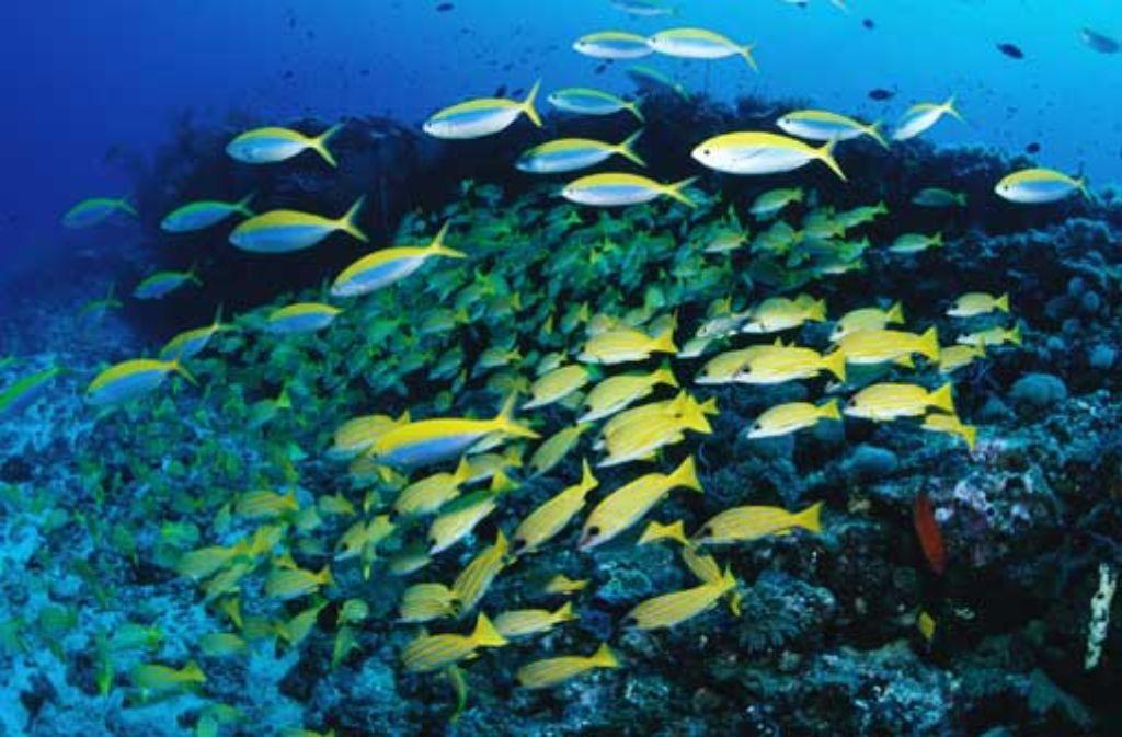Oben sind die Malediven mit Sand gepudert und nicht gerade überfüllt. Im Wasser tummelt sich dagegen Fisch an Fisch.  Warmduscher. Foto: F1 online