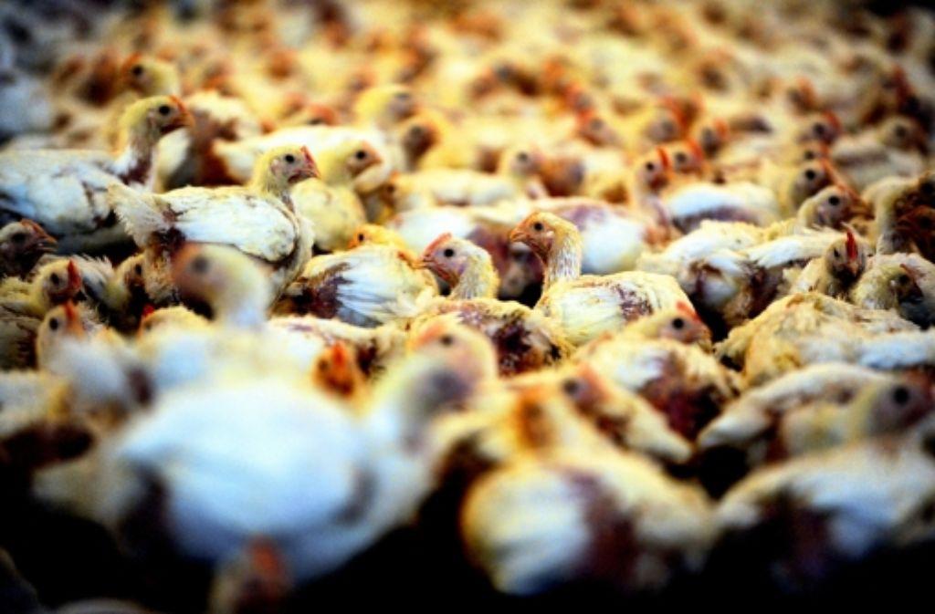 Ein Mastbetrieb im Landkreis Vechta: jedes zweite Huhn in Deutschland stammt aus einem er Megaställe in Niedersachsen. Foto: dpa