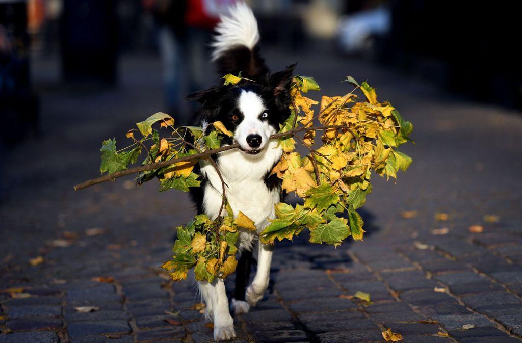 Gut, wenn man tierische Helfer hat beim Aufsammeln von kompostierbaren  Gartenabfällen wie Laub, Strauch- und Baumschnitt. Zu einer guten Komposterde zersetzt sich auch  Mist von Stall- und Haustieren sowie Speisereste. Foto: dpa