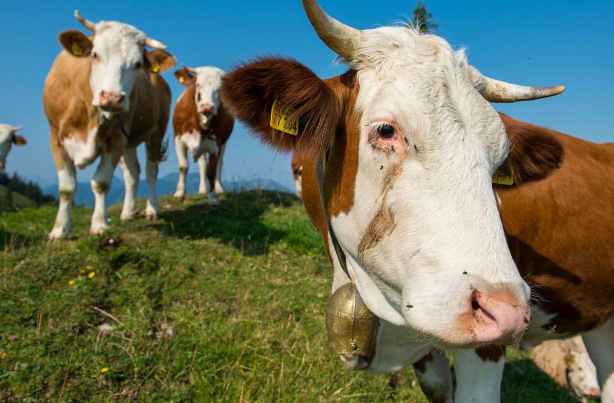 Der Trend, Kühe zu erschrecken, kann richtig gefährlich werden. Foto: dpa/Lino Mirgeler