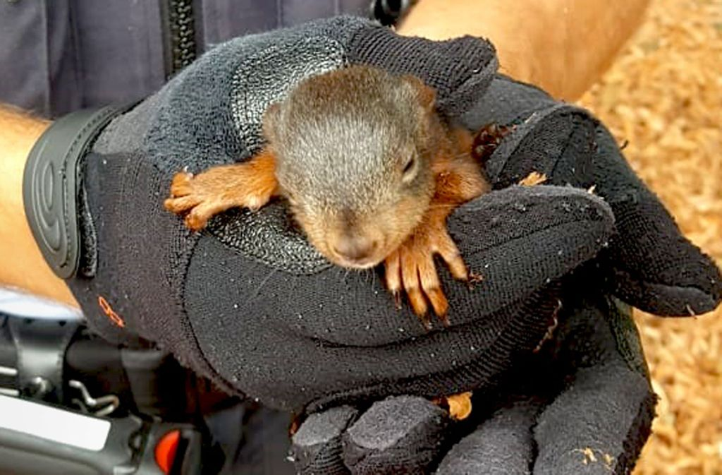 Das Eichhörnchen wurde erst  für ein Hundebaby gehalten. Foto: Facebook Polizei Stuttgart