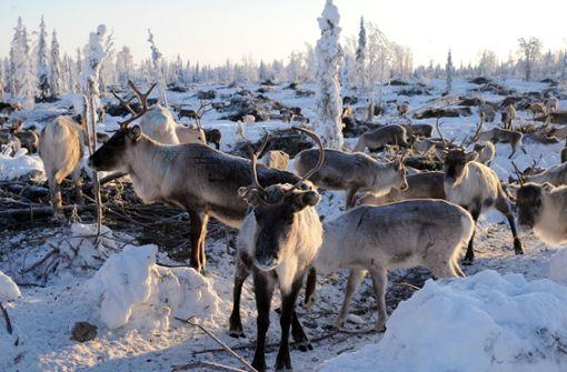 Wilderer erschießen mehr als 1000 Rentiere in Sibirien