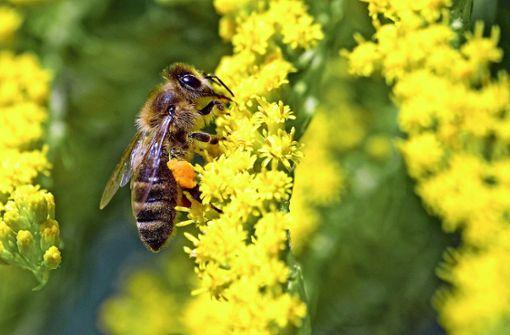 Bienenrettung: Ja! Mehr Vorschriften: Nein!