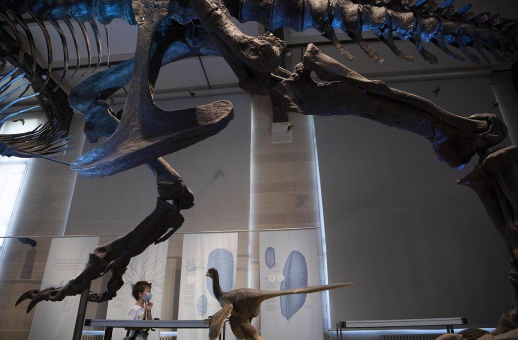 In Brüssel dürfen die Menschen offiziell wieder Dinosaurier-Skelette in Museen  bestaunen. In Sydney verschaffte sich ein Deutscher unerlaubt Zutritt in das Australian Museum. Foto: AP/Virginia Mayo