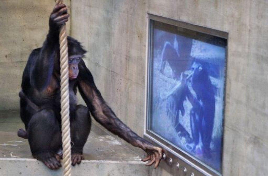 Welches Fernsehprogramm bevorzugen die Bonobos in der Wilhelma? Die Menschenaffen könne zwischen verschiedenen Filmen wählen. Eine Studie soll jetzt ihr Fernsehverhalten an den Tag bringen. Foto: Wilhelma