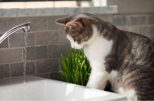 Anders als Hunde meiden Katzen den Kontakt mit Wasser. Warum sind Katzen wasserscheu? Die Gründe erfahren Sie hier.