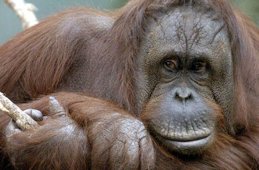 Orang Utan geht in Gehege fremd