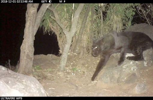 Seltener schwarzer Leopard gefilmt
