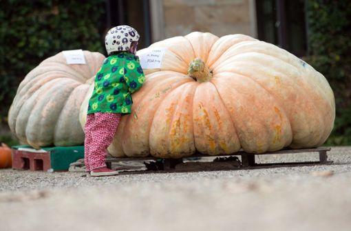 Riesenkürbis bringt es auf über 700 Kilogramm