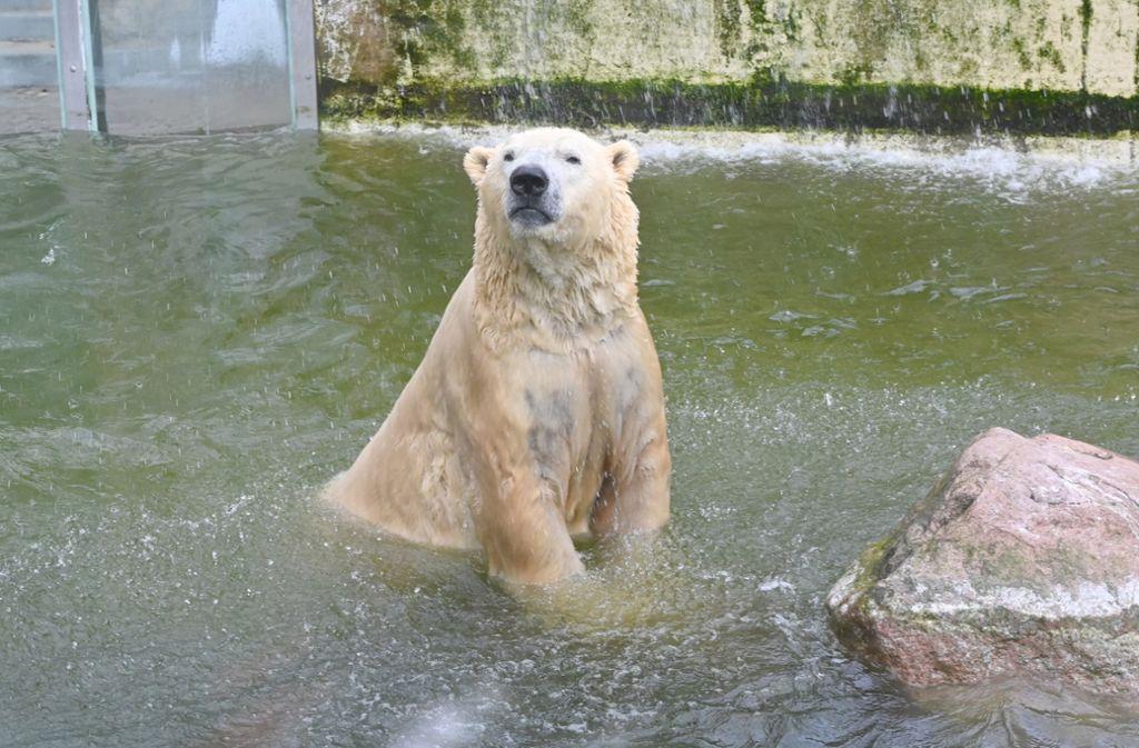 """Der 3,60 Meter große Eisbär """"Vitus"""" soll im Fall des Falles zuletzt auf die Schlachtbank kommen. Foto: dpa/Carsten Rehder"""