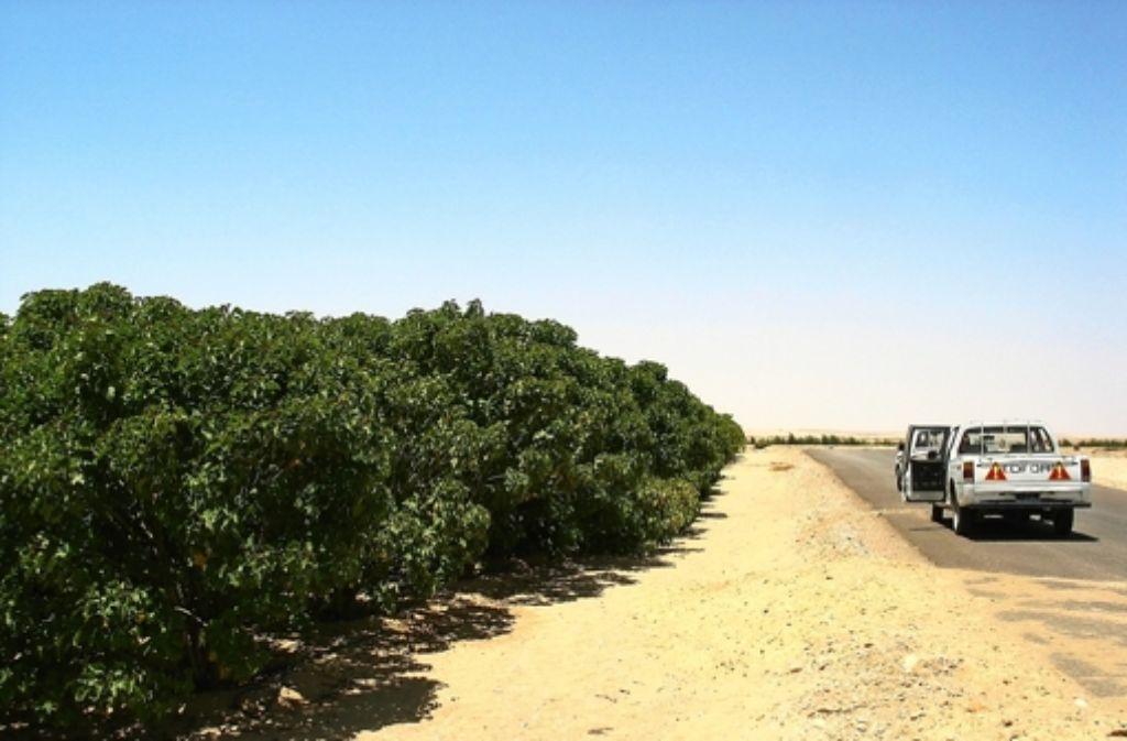 Eine Jatropha-Plantage in der Nähe von Luxor in Ägypten Foto: Becker
