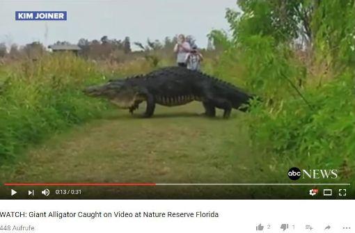 Riesenalligator in Florida gesichtet