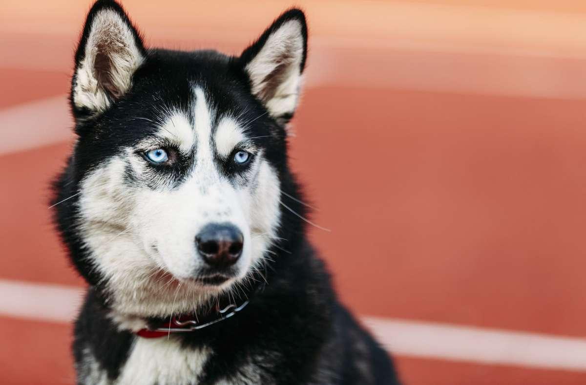 Ein Husky soll in Böblingen eine Katze getötet haben (Symbolfoto). Foto: imago images/Ryhor Bruyeu