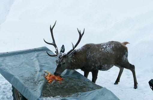 Erlegter Hirsch hat sechs Kilogramm Plastik im Magen