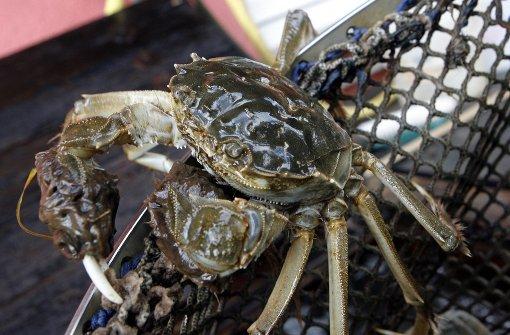 Krabbe flüchtet vor dem Kochtopf