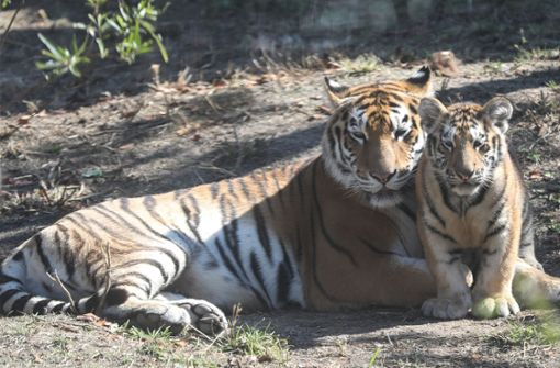 19-Jähriger von Tiger schwer verletzt