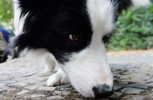 Hund verschluckt Knackwurst mit Nadeln