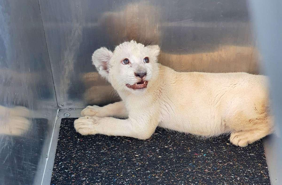 Bei einem Unfall auf der A5 zwischen Walldorf und Kronau wurde ein weißes Löwenbaby gefunden. Foto: dpa/Reptilium Landau