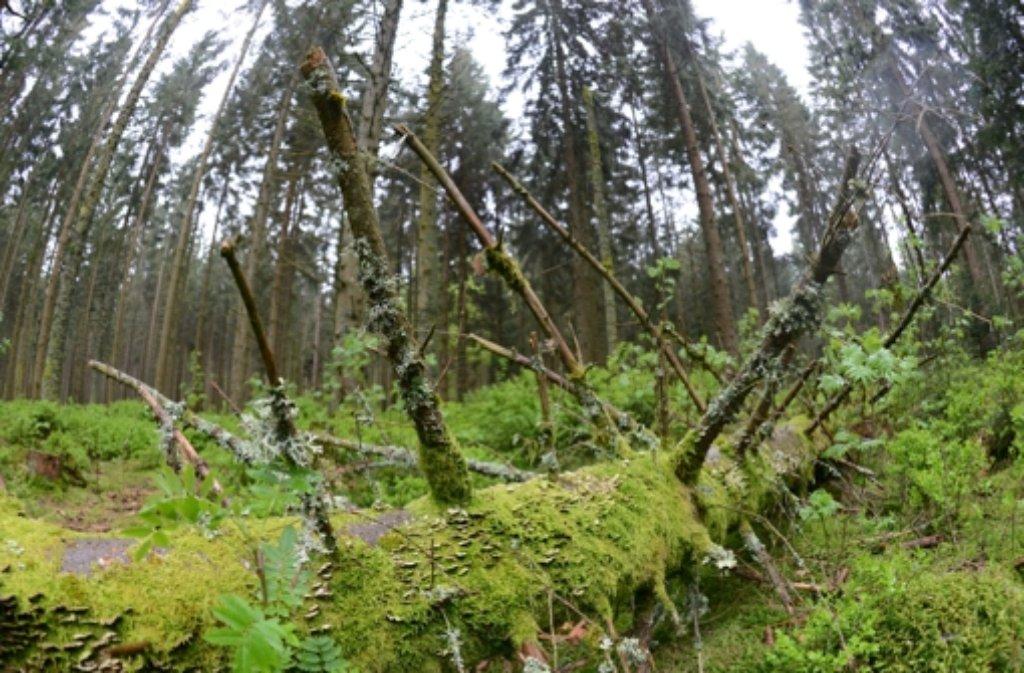Nach der Stadt Baden-Baden will auch Bühl (Kreis Rastatt) Teil des geplanten Nationalparks werden. Dafür stimmte  der Gemeinderat am Mittwochabend mit großer Mehrheit. Bühl bietet dafür 135 Hektar des Stadtwaldes an der Schwarzwaldhochstraße an. Foto: dpa