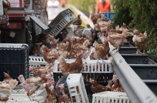 Tausende Hühner blockieren Autobahn