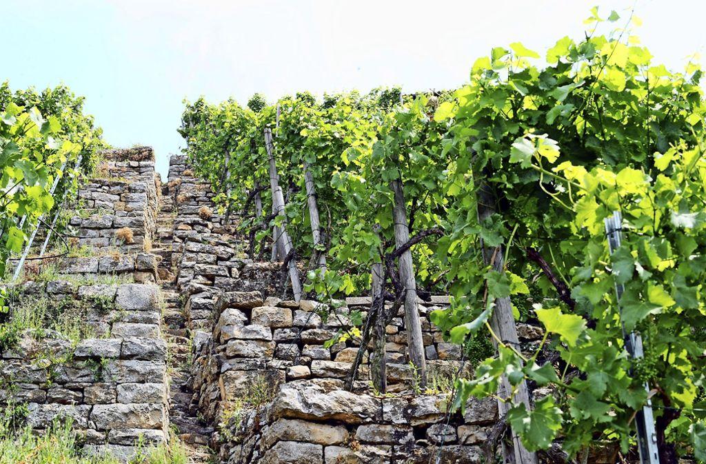 Weinbau in Steillagen ist ein mühseliges Geschäft – und deshalb  unrentabel. Foto: dpa