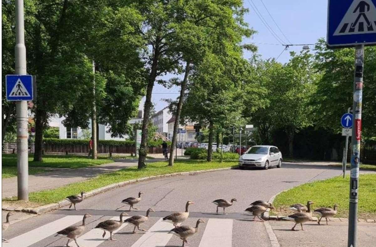 Eine Herde Gänse hat beim Rosentalsee in Vaihingen eine Straße überquert. Foto: Polizei Stuttgart