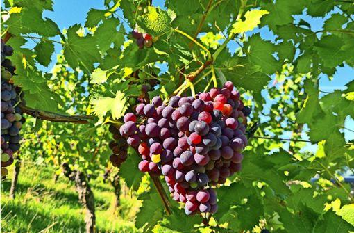 Halbes Lob für Wein vom Kappelberg