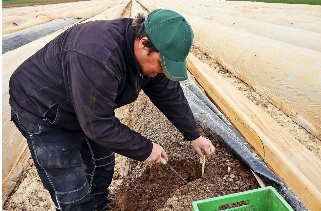 Löchgauer Spargel: In dieser Woche  soll die Ernte beginnen. Foto: factum/Simon Granville