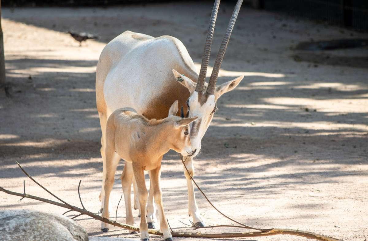 Die Säbelantilopen in der Wilhelma haben erneut Nachwuchs bekommen. Foto: Wilhelma Stuttgart