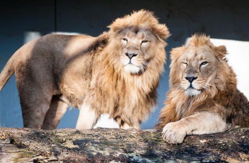 Wilhelma will Löwen züchten