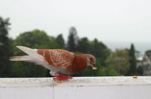 Wer Tauben füttert, dem darf gekündigt werden