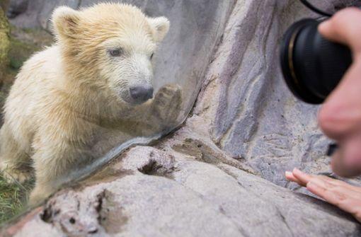 Eisbärbaby Nanook zum ersten Mal draußen