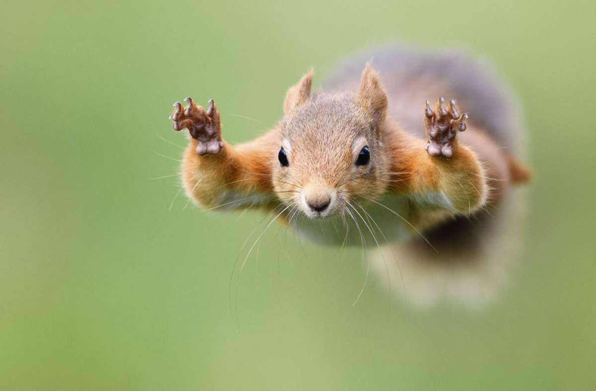 Um an Nahrung zu kommen, nehmen Eichhörnchen auch mal weite Sprünge in Kauf. Foto: imago/Westend61/Mark Johnson