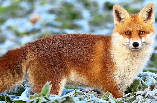 Ein kranker Fuchs streift durchs Wohngebiet